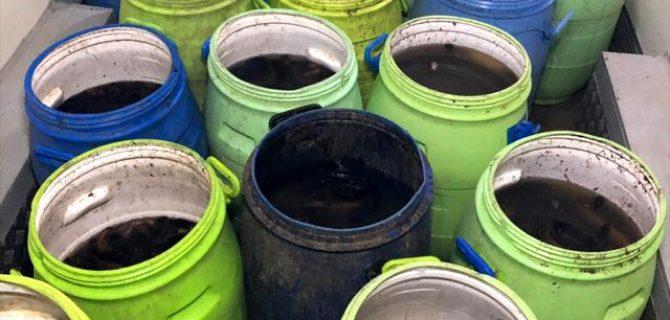 Biga'da deniz patlıcanı operasyonu