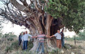 Bin yıllık olduğu öne sürülen dev servi için 'anıt ağaç' tescili isteği