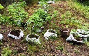 Biga'da 239 kök hint keneviri ele geçirildi