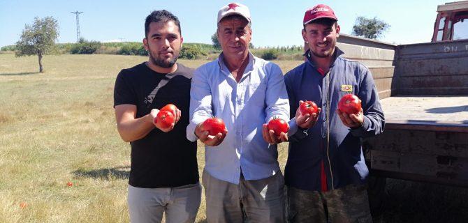 Hacıpehlivan Köyünden ilk Domates İstanbula'a Gitti