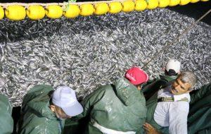 Çanakkale'de sardalya bereketi balıkçıların yüzünü güldürdü
